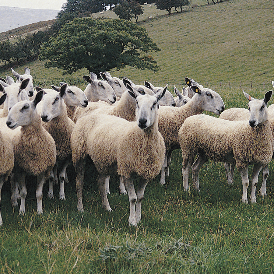 Bluefaced Leicester Wools