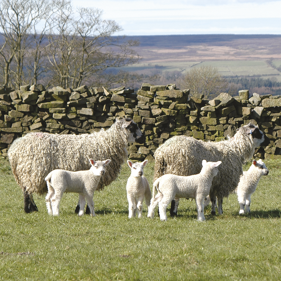 The Masham breed
